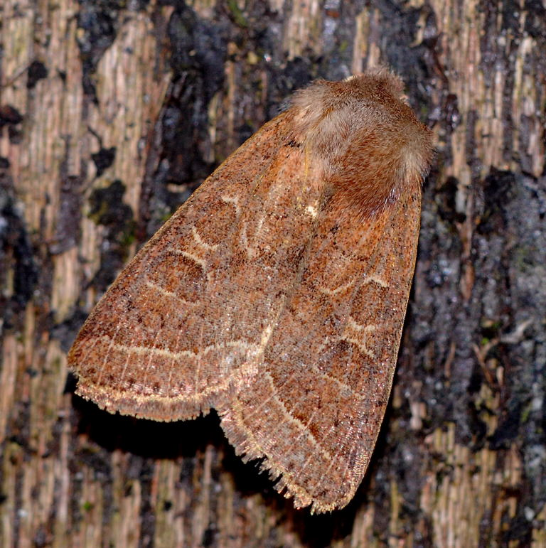 Common Quaker1