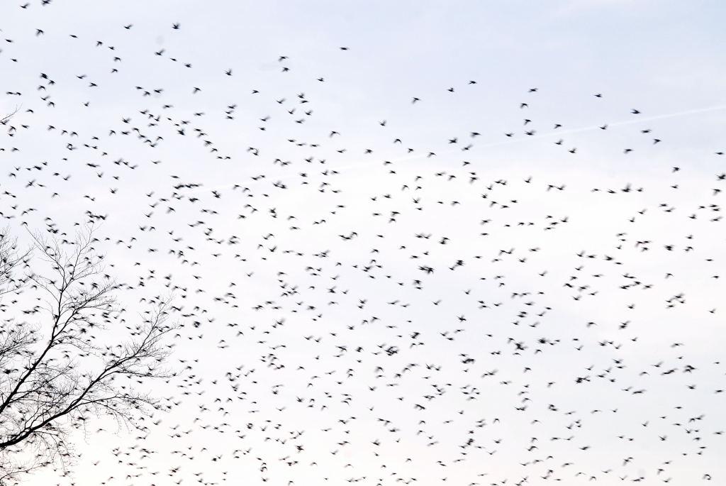 Starlings Sheldon3