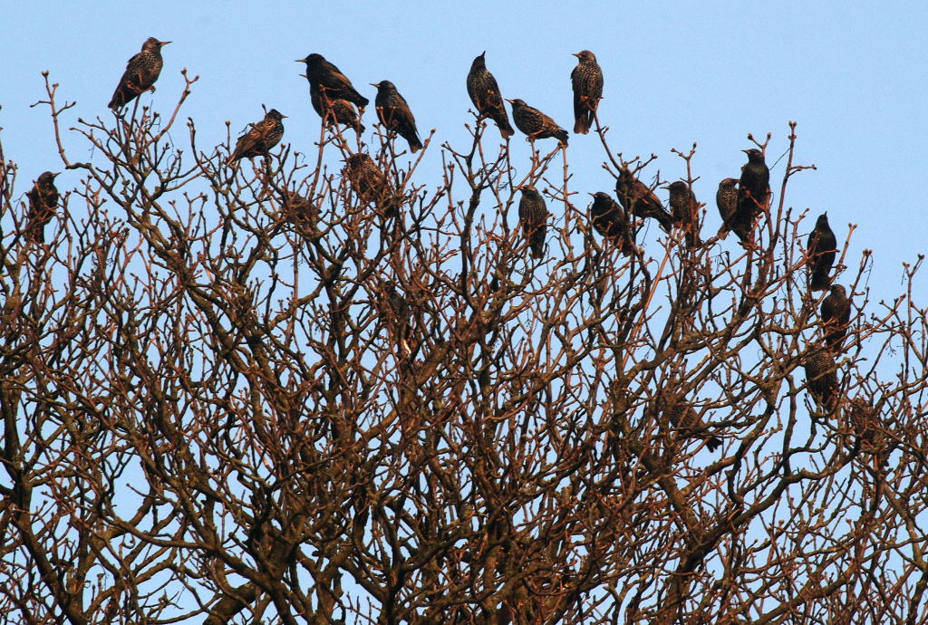 Starlings Sheldon4