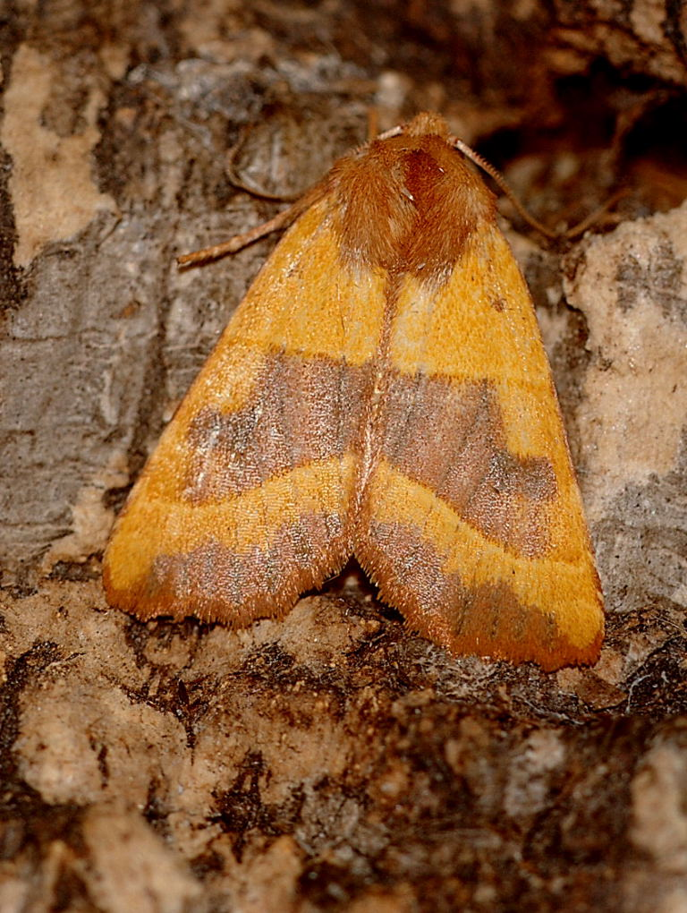 Centre-barred Sallow42